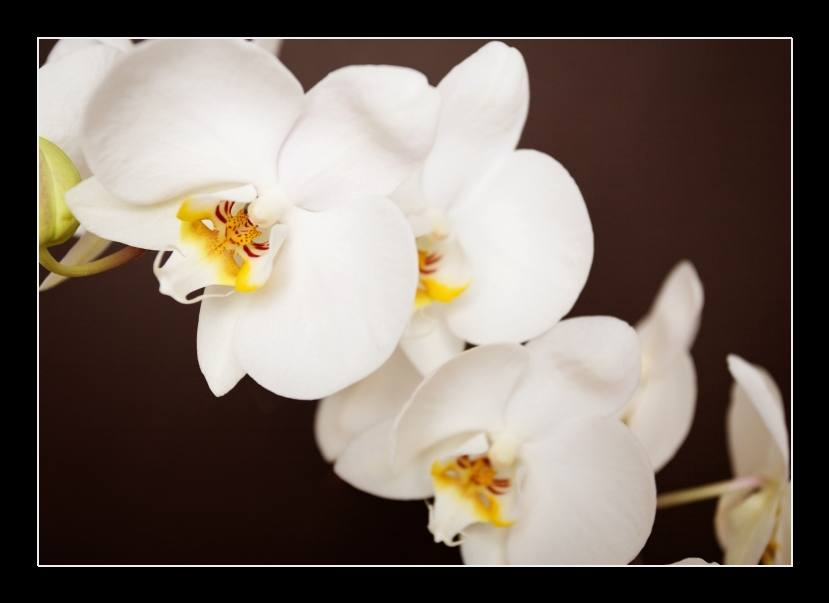 Beautiful orchid on brown background