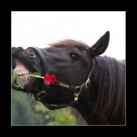 black horse with red rose in mouth
