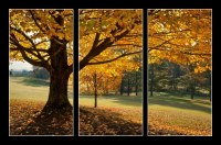 Golden Fall Foliage Autumn Yellow Maple Tree on golf course (1/2)