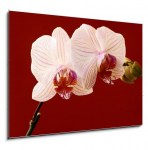 orchid on red background (2/2)