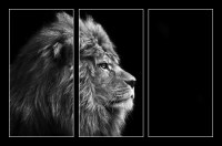 Stunning facial portrait of male lion on black background in bla (1/2)